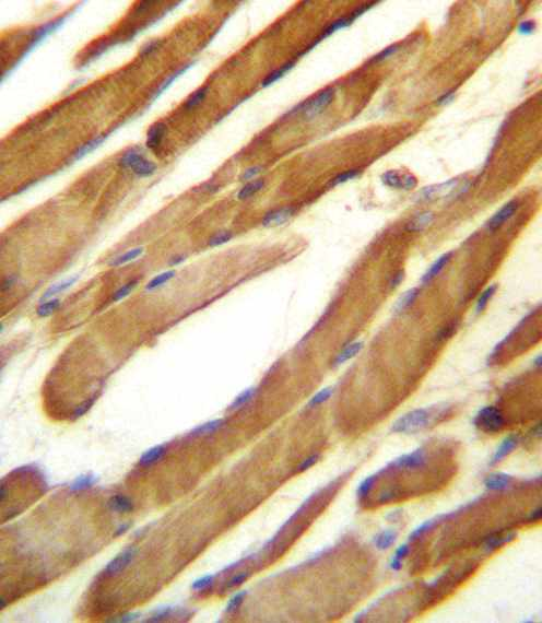 Immunohistochemistry (Formalin/PFA-fixed paraffin-embedded sections) - Anti-SLC16A10 antibody - C-terminal (ab171649)