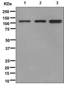Western blot - Anti-GRASP1 [EPR11703] antibody (ab171940)