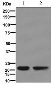 Western blot - Anti-RD3 antibody [EPR12169(B)] (ab171946)