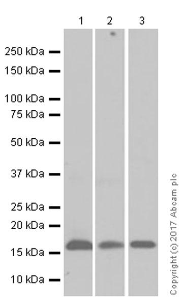 Western blot - Anti-Uteroglobin antibody [EPR12008(B)] (ab171957)