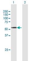 Western blot - Anti-Cyclin A1 antibody (ab172317)