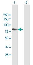 Western blot - Anti-TAB2 antibody (ab172412)