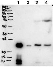 Western blot - Anti-Plunc antibody - C-terminal (ab174758)