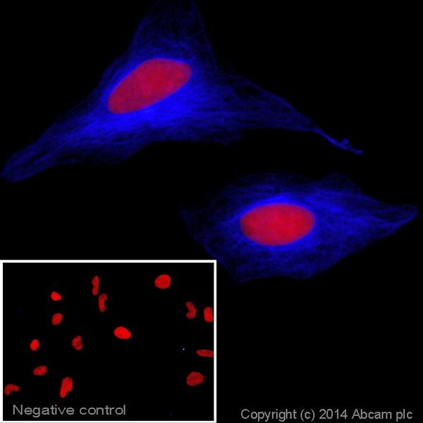 Immunocytochemistry/ Immunofluorescence - Goat Anti-Rabbit IgG Fc (Alexa Fluor® 405) preadsorbed (ab175656)
