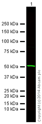 Western blot - Goat Anti-Rabbit IgG Fc (Alexa Fluor® 750) preadsorbed (ab175736)