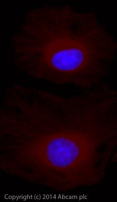 Immunocytochemistry/ Immunofluorescence - Goat Anti-Guinea pig IgG H&L (Alexa Fluor® 750) (ab175758)