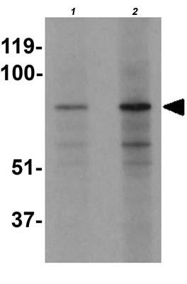 Western blot - Anti-EZH1 antibody (ab176115)