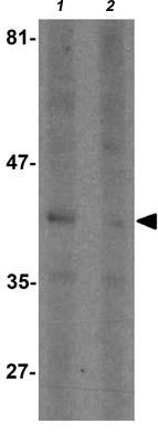 Western blot - Anti-SEPT1 antibody - C-terminal (ab176120)
