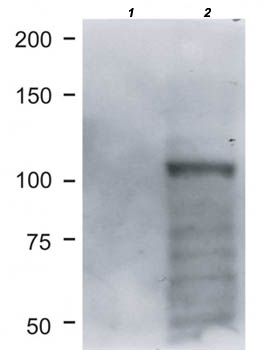Western blot - Anti-BRIT1 [AB11] antibody (ab176524)
