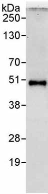 Immunoprecipitation - Anti-PAK1 interacting protein 1 antibody (ab176813)