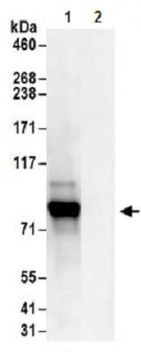 Immunoprecipitation - Anti-c-Myb antibody (ab177510)