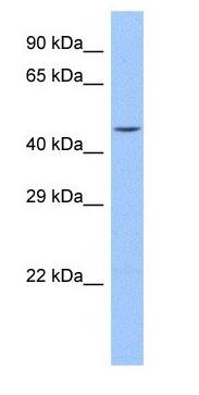 Western blot - Anti-Sp8 antibody (ab178962)