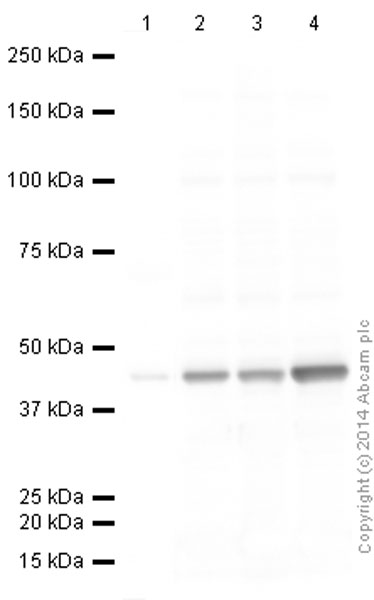 Western blot - Anti-alpha smooth muscle Actin antibody [0.N.5] (ab18147)