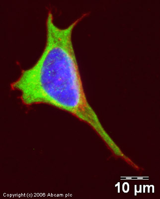 Immunocytochemistry/ Immunofluorescence - Anti-beta III Tubulin antibody (ab18207)