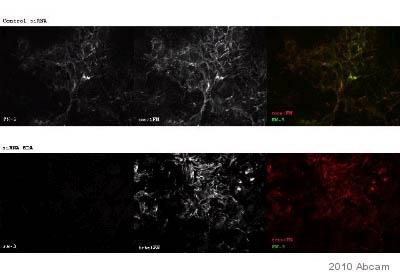 Immunocytochemistry/ Immunofluorescence - Anti-Fibronectin antibody [Fn-3] (ab18265)