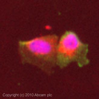 Immunocytochemistry/ Immunofluorescence-Sialoadhesin antibody [HSn 7D2](ab18619)