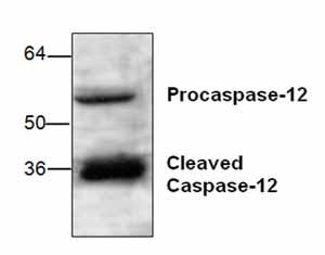 Western blot - Anti-Caspase-12 antibody (ab18766)