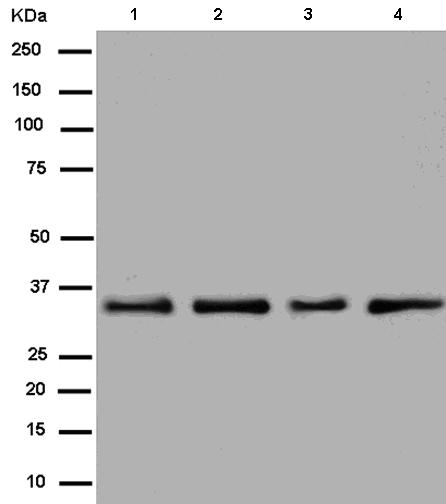 Western blot - Anti-Heterogeneous Nuclear Ribonucleoprotein (A1-like)  [EPR13673] antibody (ab180124)