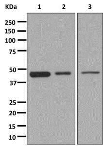 Western blot - Anti-Mitochondrial Pyruvate dehydrogenase kinase 1 [EPR13015] antibody (ab180171)