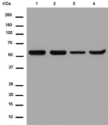 Western blot - Anti-MFSD7 [EPR13776] antibody (ab180496)