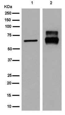 Western blot - Anti-CRMP1 [EPR14520(B)] antibody - N-terminal (ab180517)