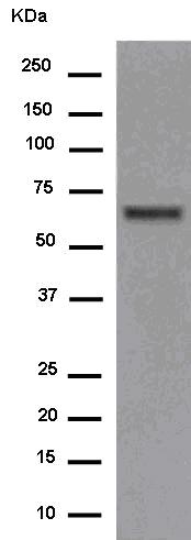 Western blot - Anti-C20orf31 [EPR14043-24] antibody (ab180522)