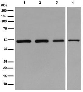 Western blot - Anti-gamma Tubulin [EPR13872] antibody (ab180595)