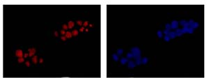 Immunocytochemistry/ Immunofluorescence - Anti-BXDC1 [EP10252] antibody (ab180604)