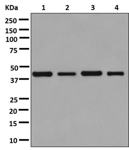 Western blot - Anti-MAP3K12 binding inhibitory protein 1 [EPR13952] antibody (ab181040)