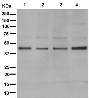 Western blot - Anti-RPUSD3 [EPR12911] antibody (ab181121)