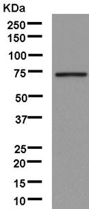 Western blot - Anti-Calpain 9 [EPR13422] antibody (ab181178)