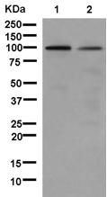 Western blot - Anti-gamma Adaptin [EPR9874] antibody (ab181189)
