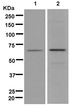 Western blot - Anti-INSC [EPR13470] antibody (ab181210)