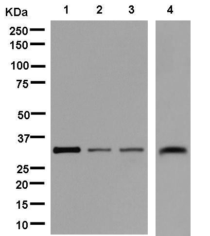 Western blot - Anti-KCTD4 [EPR11849(B)] antibody (ab181222)