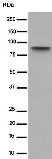 Western blot - Anti-BIN1 [EPR13463] antibody - C-terminal (ab182562)
