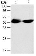 Western blot - Anti-TEKT3 antibody - C-terminal (ab182780)
