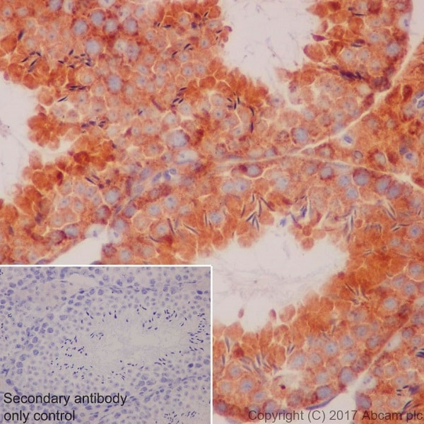 Immunohistochemistry (Formalin/PFA-fixed paraffin-embedded sections) - Anti-Apg7 antibody [EPR20384] (ab183188)