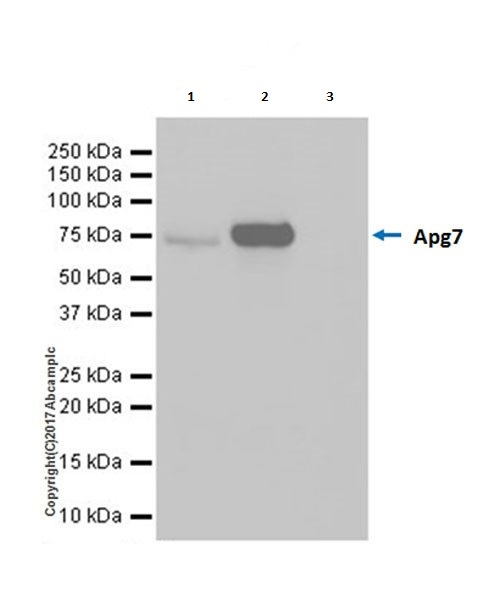 Immunoprecipitation - Anti-Apg7 antibody [EPR20384] (ab183188)