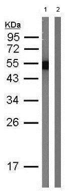 Western blot - Anti-Protein A antibody (ab183882)