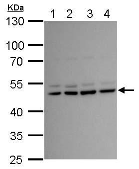 Western blot - Anti-Lhx2 antibody (ab184139)