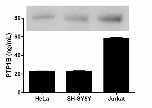 Quantitation of PTP1B expression in different cell lines and western blot (top).