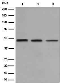 Western blot - Anti-EFCAB4A [EPR13742-78] antibody (ab185952)