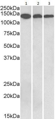 Western blot - Anti-Contactin 1 antibody (ab186067)