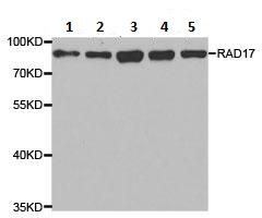 Western blot - Anti-Rad17 antibody (ab186837)