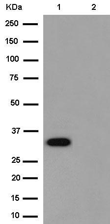Western blot - Anti-FAM108B1 [EPR13622(2)] antibody (ab187665)