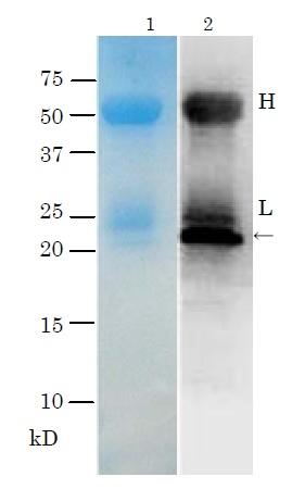 Immunoprecipitation - Anti-Thyrotropin Releasing Hormone (TRH) antibody - BSA and Azide free (ab188540)