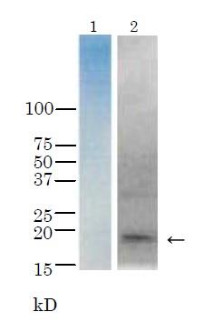 Western blot - Anti-Thyrotropin Releasing Hormone (TRH) antibody - BSA and Azide free (ab188540)