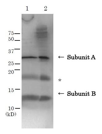 Western blot - Anti-E. coli heat labile toxin A antibody (ab188541)