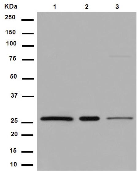 Western blot - Anti-U2AF1L3 [EPR14349] antibody (ab188582)