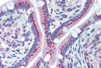 Immunohistochemistry (Formalin/PFA-fixed paraffin-embedded sections) - Anti-GOLPH2 antibody (ab188594)